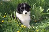 Border Collie Dog Puppy in Buttercups Photographic Print