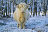 Scottish Highland Cow in Frost Photographic Print