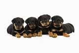 Rottweiler Puppies Laying in a Row Photographic Print