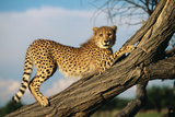 Cheetah Young Stretches on Tree Trunk Photographic Print
