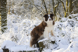 Border Collie Standing on Snow Covered Tree Stump Photographic Print
