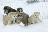 Siberian Husky Litter of Four Puppies in Snow Fotografisk tryk