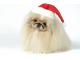Pekingese in Christmas Hat Photographic Print