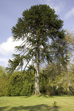 Chilean Pine in Gardens Photographic Print