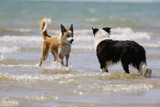 Collie (Welsh Collie) and Border Collie in Surf Photographic Print