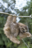 Brown-Throated 3-Toed Sloth Photographic Print