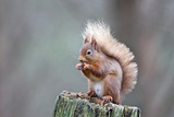 Red Squirrel Eating Nut Photographic Print