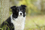 Border Collie in Front of Tree Photographic Print