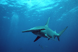 Great Hammerhead Shark Photographic Print