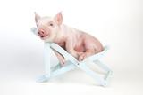 Piglet Laying in Deckchair Fotografie-Druck