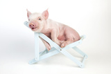 Piglet Laying in Deckchair Lámina fotográfica