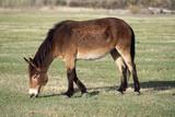 Mule Male Donkey X Female Horse Photographic Print