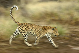 Leopard Running Photographic Print