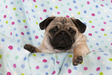 Pug Puppy on Spotted Blanket Photographic Print