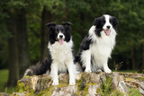 Border Collies Sitting on Tree Stump Photographic Print