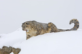 Snow Leopard in Snow Photographic Print