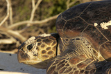 Green Sea Turtle Photographic Print