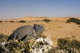 Namaqua Chameleon with Dunes Photographic Print