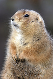 Black-Tailed Prairie Dog Basking in Winter Sunshine Photographic Print