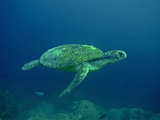 Green Turtle a Female Drifting Along the Reef Photographic Print
