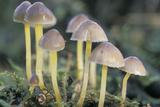 Mycena Mushroom Reprodukcja zdjęcia