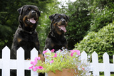 Rottweilers Looking over Fence Photographic Print