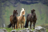 Icelandic Horse Three Standing Photographic Print