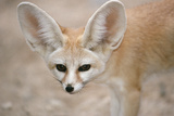 Fennec Fox Close-Up of Head, Facing Camera Photographic Print
