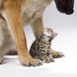 Tabby Kitten Between Large Dog's Paws Photographic Print