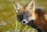 Red Fox Young Dark Phase Photographic Print