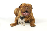 Pug Puppy (5 Wks Old) with Dogue De Bordeaux Photographic Print