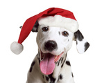 Dalmatian Dog Wearing Christmas Hat Photographic Print