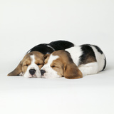 Two Sleeping Puppies Photographic Print