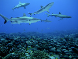 Grey Reef Sharks Swim over a School of Paddletail Photographic Print