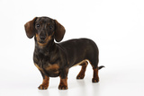 Smooth Haired Miniature Dachsund Photographic Print