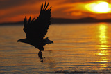 White-Tailed Eagle in Flight Above Water With Fotografiskt tryck