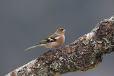 Common Chaffinch Male Photographic Print