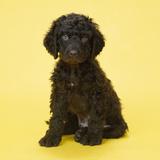 Irish Water Spaniel Dog Puppy Photographic Print