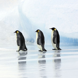 Emperor Penguin, Three Adults Walking across Ice Photographic Print