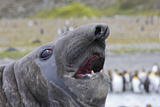 Southern Elephant Seal with King Penguins Photographic Print