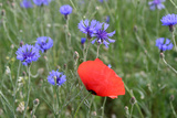 Red Poppy and Cornflowers Photographic Print