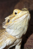 Bearded Dragon Photographic Print
