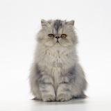 Persian Tortoiseshell Cameo Kitten Photographic Print