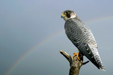 Peregrine Falcon with Rainbow Behind Photographic Print