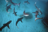 Galapagos Sharks Many Congregate in the Lagoon Photographic Print