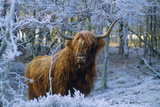 Scottish Highland Cow in Frost Reproduction photographique