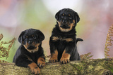 Rottweiler Puppies Looking over Log Photographic Print