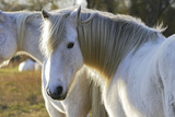 Camargue Horse Photographic Print