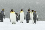 King Penguins in Blizzard Photographic Print