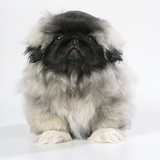 Pekingese, Front-View, Studio Shot Photographic Print